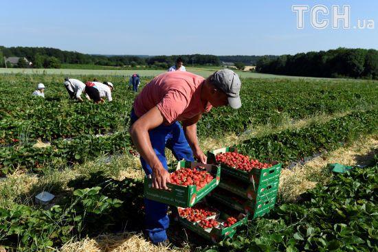 У Польщі може згнити до 40% урожаю полуниці через брак заробітчан-українців