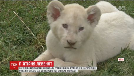 У чеському зоопарку представили рідкісних білих левенят, які народилися там у травні