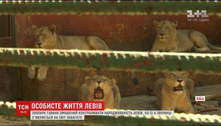 Кубинський зоопарк змушений стерилізувати левів, аби контролювати їхню народжуваність