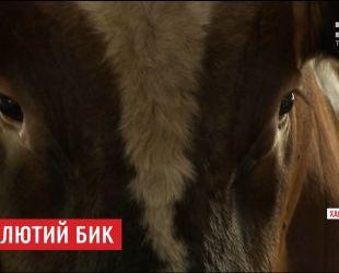 На Харьковщине бык насмерть затоптал работника фермы