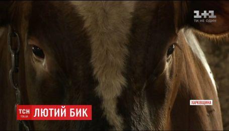 На Харківщині бик на смерть затоптав працівника ферми