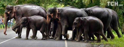 Військово-морський флот Шрі-Ланки врятував слонів, яких змило у відкрите море