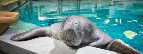 Во Флориде умер самый старый в мире ламантин
