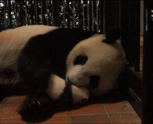 Працівники японського зоопарку опублікували зворушливе відео зважування панденяти