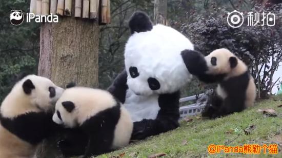 Костюм для обіймів: у Китаї працівники заповідника переодягаються для ігор з пандами