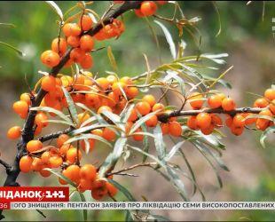 Облепиха возвращается: как селекционеры улучшили знакомую всем ягоду
