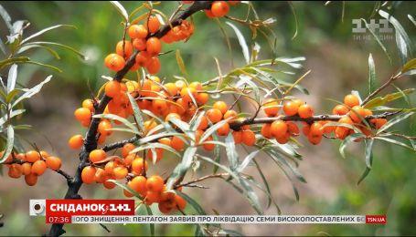 Обліпиха повертається: як селекціонери поліпшили знайому всім ягоду