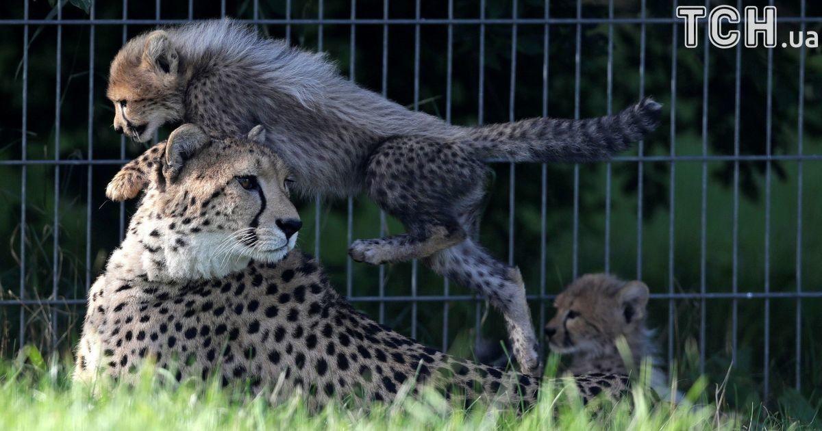 Поцелуи и катание на маминой шее. Reuters показало забавные фото маленьких гепардов