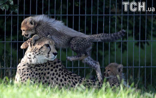 Поцілунки і катання на материній шиї. Reuters показало кумедні фото крихітних гепардів