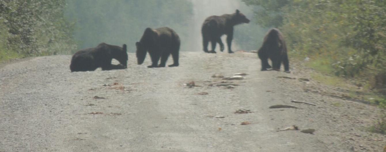 У Росії ведмеді з'їли тонну риби, яка висипалася посеред дороги із вантажівки