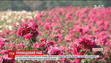 На Вінниччині одночасно зацвіло мільйон кущів різних сортів троянд