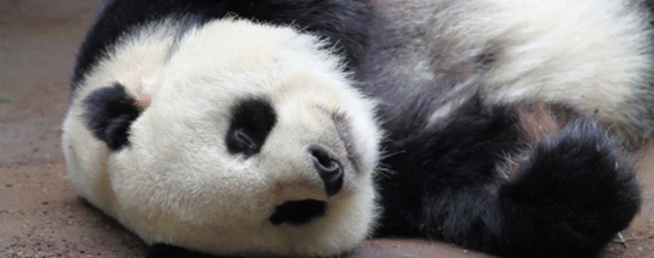 Групповое фото маленьких панд и флешмоб сальто в людных местах. Тренды Сети