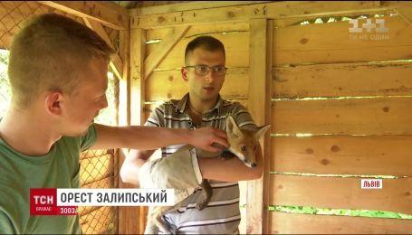 Во Львове зоозащитники спасли маленького лисенка