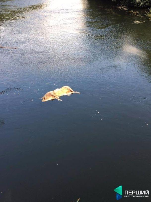 Під Луцьком у річці знайшли мертву свиню