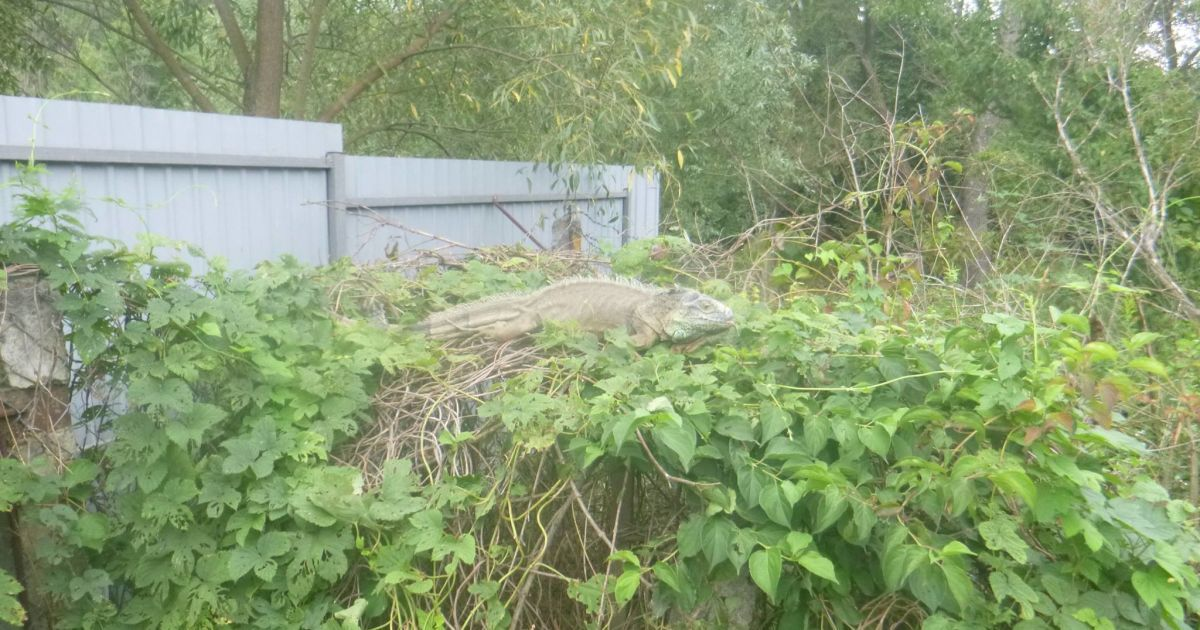 Ігуана харчувалася овочами в городі жительки Київщини @ Kyiv Animal Rescue Group/Facebook