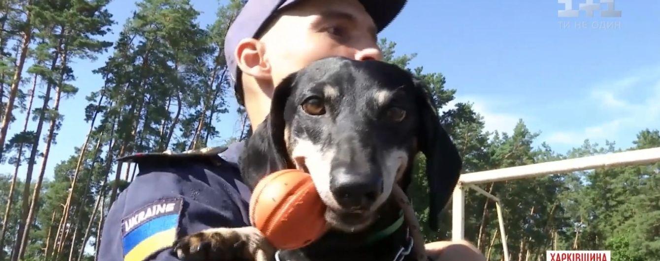 Унікальний пес: у Харкові на рятувальника ДСНС видресирували таксу