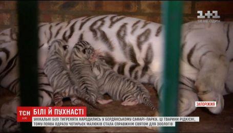 У сафарі-парку Бердянська народилися унікальні білі тигренята з блакитними очима