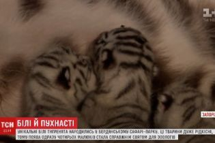 В бердянском сафари-парке родились уникальные тигрята с белым мехом и голубыми глазами