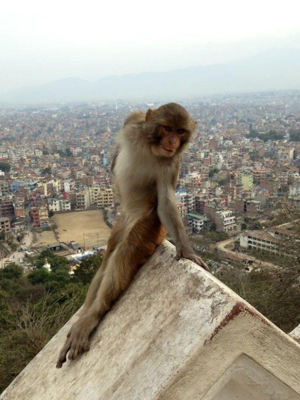 Студентка из США нашла в Непале наиболее фотогеничную обезьянку в мире