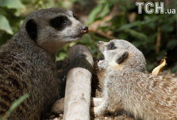 Семейная ссора. Reuters опубликовал забавные фото сурикатов в венском зоопарке