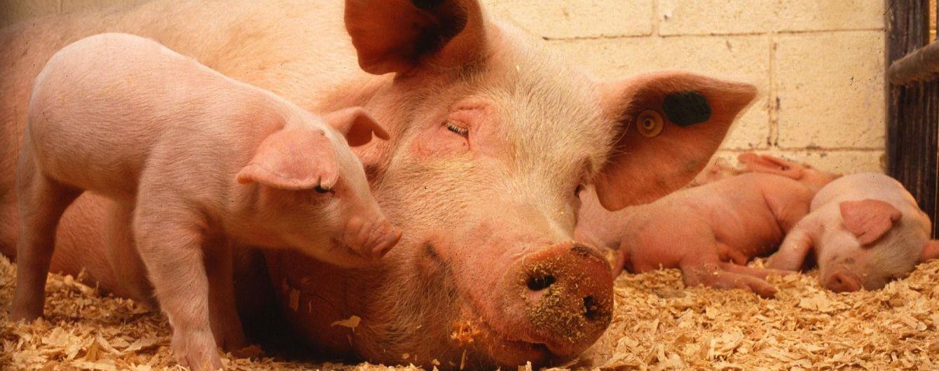 Украина установила антирекорд по количеству вспышек чумы свиней