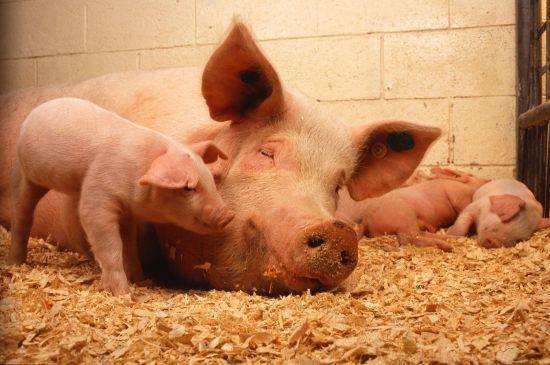 На Львівщині селяни у відчаї ріжуть свиней, щоб не утилізувати через африканську чуму