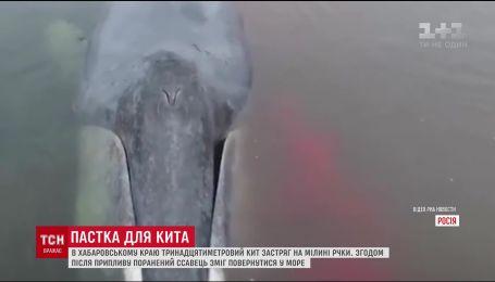 В России спасли 13-метрового гренландского кита, который застрял в устье реки