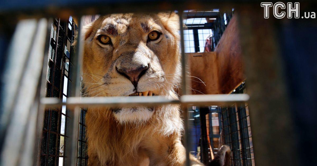 Виснажені та поранені. Тварин з сирійського зоопарку перевезли в Йорданію