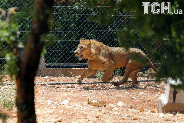 Истощенные и раненые. Животных из сирийского зоопарка перевезли в Иорданию