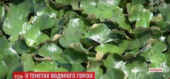 На Дніпрі утворилися величезні поля з водяного горіха, через що не розмножується риба