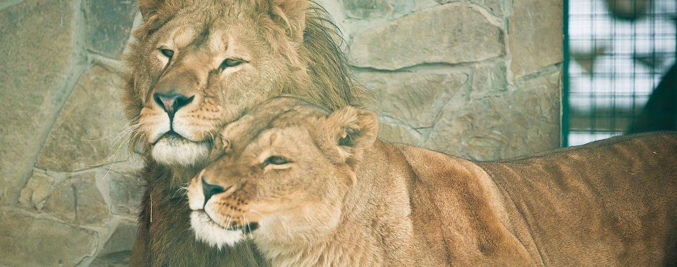 В зоопарке ЮАР лев чуть не откусил руку регбисту