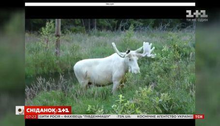 В Интернете появилось видео лося-альбиноса