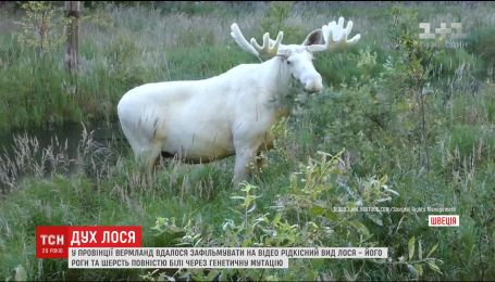 В Швеции заметили лося с необычным цветом шерсти и рогов