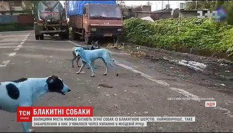 Стаи голубых собак заполонили улицы индийского города Мумбай
