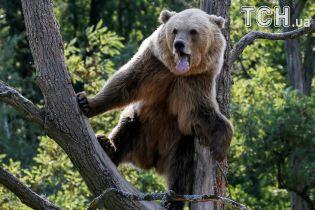 Купання, засмага і розваги. Як живуть ведмеді у реабілітаційному центрі на Житомирщині