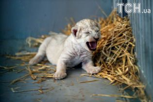 Історія з хепі-ендом. Врятована в Сирії левиця народила дитинча