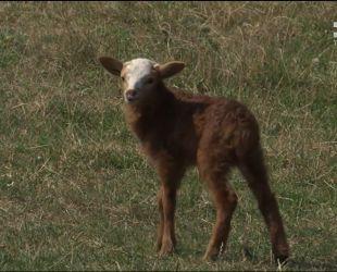 Голод і спрага: на Житомирщині півтисячі овець потерпають від недогляду власника