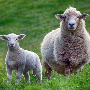 Селяне с Житомирщини жалуются на владельца фермы: его овцы голодают, страдают от жажды и умирают