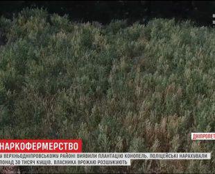 На Днепропетровщине полиция нашла огромную плантацию конопли