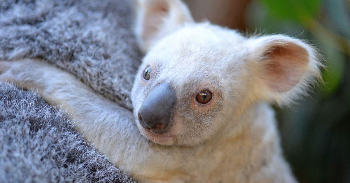 ВАвстралии появилась насвет особая коала