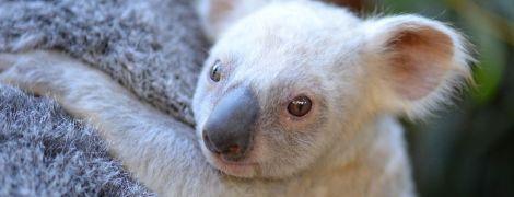 На маминой шее. В Австралии родилась редкая белая коала