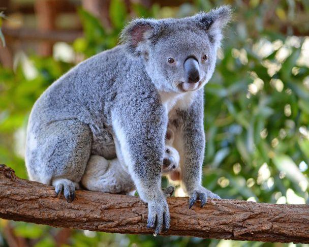ВАвстралии родилась особая белая коала