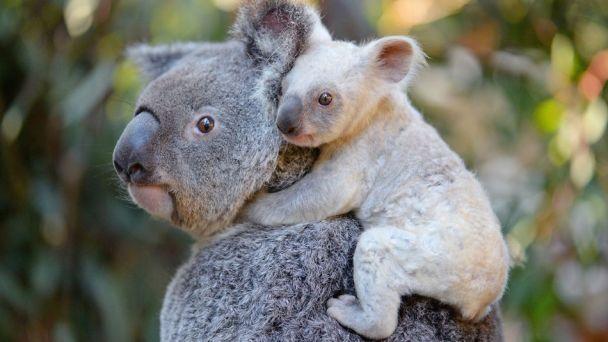 Намаминой шее. ВАвстралии родилась особая белая коала