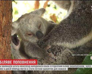В Австралийском зоопарке родилась редкая коала с белым мехом