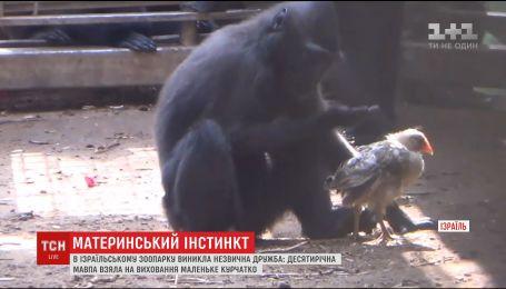 В израильском зоопарке десятилетняя обезьяна воспитывает маленького цыпленка