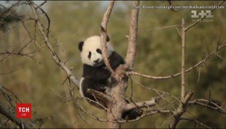 Интернет покоряет видео с маленькой пандой, которая застряла на дереве