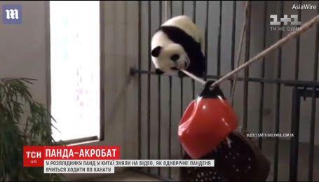 В китайском центре разведения панд сняли попытки годовалого медвежонка пройти по канату