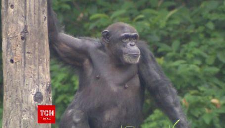 Из зоопарка в Тайбэй убежал шимпанзе