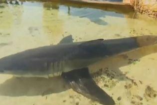 На австралійському пляжі врятували найнебезпечнішу для людини білу акулу