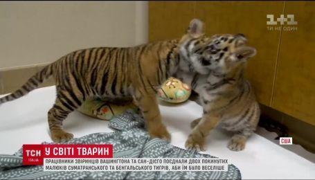 В США два зверинца решили совместить брошенных малышей суматранского и бенгальского тигров